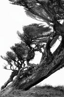 Bent pine tree