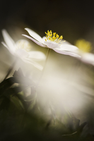 White wild flower, England, UK