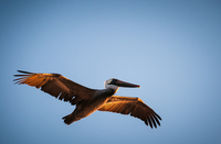 Low angle view of pelican flying against blue sky, San Francisco Bay Area, California, USA
