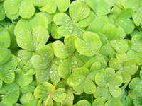 Full frame of green clover leaves with water drops