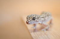 Portrait of small gecko