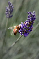 Wasp perching on purple lavender, Maui, Hawaii, USA