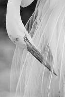 Eastern great egret (Ardea alba modesta), Galveston, Texas, USA