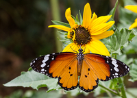Close-up of butterfly on sunflower, Delhi, India