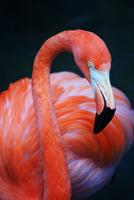 Portrait of american flamingo (Phoenicopterus ruber), West Palm Beach, Florida, USA