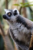 Portrait of ring tailed lemur (Lemurcatta)