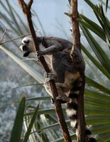 Ring tailed lemur (Lemur catta) sitting on tree