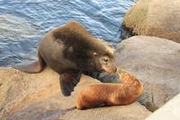 Female and calf Sea Lions (Otariinae), California, Monterey, USA