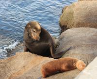 Sea Lions (Otariinae) lying on rocks, Monterey, California, USA