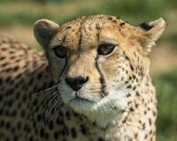 Portrait of Cheetah (acinonyx jubatus)