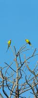 Plum headed parakeets (Psittacula cyanocephala) perching on tree