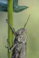 Close-up of grasshopper climbing grass against blurry background