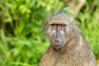 Chacma baboon (Papio ursinus) head against blurry background, South Africa