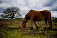 Grazing brown pony, Lyndhurst, England, UK