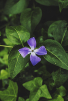 Purple flower, Florida, USA