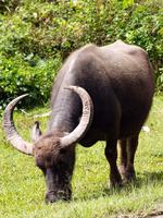 Male water buffalo (Bubalus bubalis) grazing in meadow, Indonesia