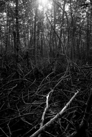Thick forest in black and white, Mangrove forest, Thailand