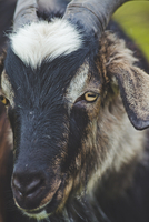 Mountain goat buck head close-up