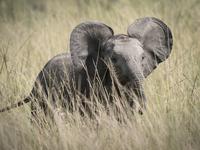 Young elephant in tall grass, Masai Mara National Reserve, Kenya