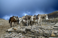 Horses with harness, Manali, India
