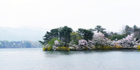 Cherry blossom on small lake islet, Korea
