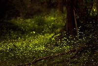 Fireflies in garden, Dongshi Forest Garden, Taichung, Taiwan