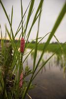 Reeds on riverbank
