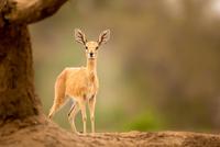 Steenbok (Raphicerus campestris) portrait, Mashatu, Botswana