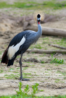 Portrait of grey crowned crane (Balearica regulorum)
