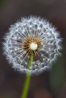 Puffball of dandelion