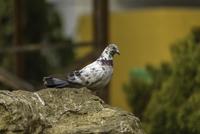 Pigeon on rock (Columba Livia)