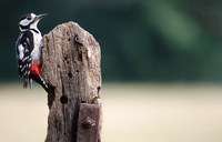 Greater Spotted Woodpecker (Dendrocopos major) sitting on pole