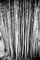 Common bamboo (Bambusa vulgaris) 11098048795| 写真素材・ストックフォト・画像・イラスト素材|アマナイメージズ