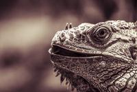 Portrait of Green iguana (Iguana iguana), Brazil