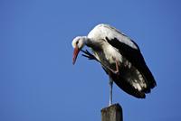 Standing White Stork (Ciconia ciconia)