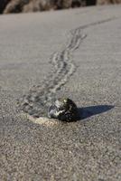 Hermit Crab walking on beach, Cape Scott Provincial Park, British Columbia, Canada