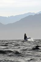Humpback whale (Megaptera novaeangliae) breaching water, Puerto Vallarta, Mexico