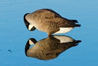 Goose reflecting in water, British Columbia, Canada