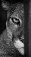 Portrait of cougar