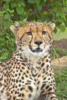 Cheetah (Acinonyx jubatus) in nature, Masai Mara, Kenya
