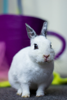 Portrait of white rabbit, Wellington, New Zealand