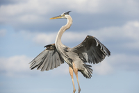 Flying great blue heron (Ardea herodias), Florida, USA