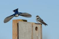 Tree swallows (Tachycineta bicolor) on birdhouse