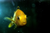 Close up view of yellow fish