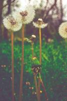 Dandelion (Taraxacum) on meadow