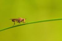 Marsh fly (Sciomyzidae) perching on grass blade