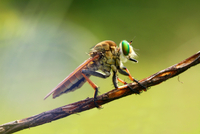 Insect on twig, Indonesia