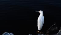 Portrait of egret perching on stone, Vik, Iceland