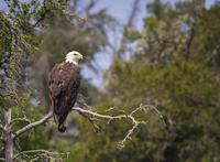 Bald eagle (Haliaeetus leucocephalus) perching on branch