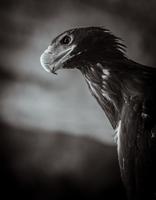 Portrait of golden eagle (aquila chrysaetos)